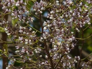 Λεπτομέρεια του δέντρου από το οποίο λαμβάνουμε το αιθέριο έλαιο Santal