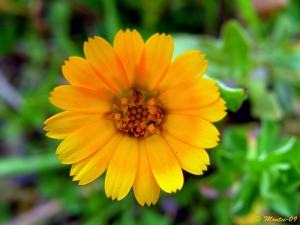 Calendula arvensis, photo by Catalaunica Montses